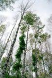 Abedules en bosque Foto de archivo