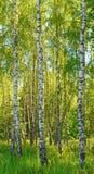 Abedules en bosque Fotografía de archivo libre de regalías