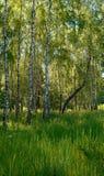 Abedules en bosque Imagen de archivo