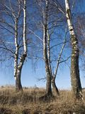 Abedules en bosque del invierno Foto de archivo libre de regalías