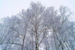 Abedules en bosque del invierno con la nieve blanca Fotografía de archivo