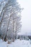 Abedules en bosque del invierno con la nieve blanca Fotos de archivo
