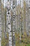 Abedules en bosque del otoño Imagen de archivo