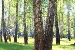 Abedules en bosque del verano Imágenes de archivo libres de regalías