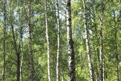 Abedules en bosque del verano Imagen de archivo libre de regalías