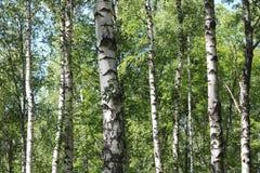Abedules en bosque del verano Fotografía de archivo