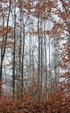 Abedules en bosque del verano Imagen de archivo