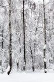 abedules en bosque nevoso en día de invierno cubierto Fotos de archivo