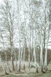 Abedules en colores ligeros de la primavera Imagenes de archivo