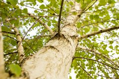 Abedules en el aire abierto en el bosque Fotografía de archivo libre de regalías