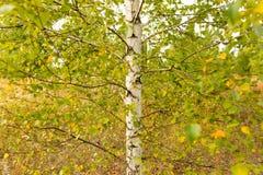 Abedules en el aire abierto en el bosque Imágenes de archivo libres de regalías