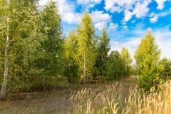 Abedules en el aire abierto en el bosque Imagenes de archivo