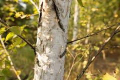 Abedules en el aire abierto en el bosque Imagen de archivo