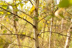 Abedules en el aire abierto en el bosque Imagen de archivo libre de regalías