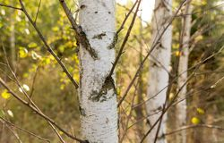 Abedules en el aire abierto en el bosque Foto de archivo libre de regalías