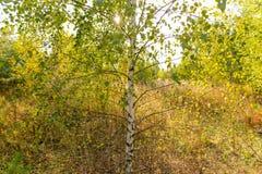 Abedules en el aire abierto en el bosque Fotografía de archivo