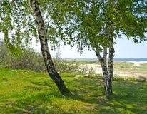 Abedules en el banco del mar Báltico en día soleado del verano Imagen de archivo
