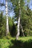 Abedules en el borde del bosque Imagenes de archivo
