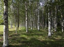 Abedules en el bosque Foto de archivo libre de regalías