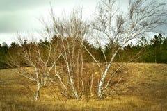 Abedules en el bosque del invierno Imagen de archivo