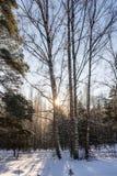 Abedules en el bosque del invierno Imágenes de archivo libres de regalías