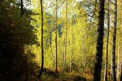 Abedules en el bosque en otoño Imagen de archivo