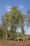 Abedules en el brezo Fotos de archivo