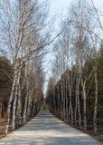 Abedules en el camino Foto de archivo