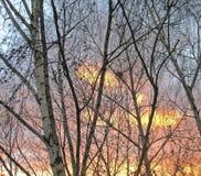 Abedules en el fondo de la puesta del sol Fotos de archivo