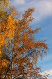 Abedules en el otoño Fotos de archivo