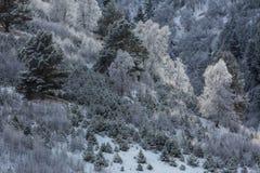 Abedules en escarcha en una ladera Imágenes de archivo libres de regalías