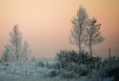 Abedules en escarcha por la mañana del frío del invierno Fotos de archivo libres de regalías