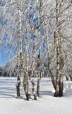Abedules en invierno Foto de archivo