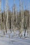 Abedules en invierno Imágenes de archivo libres de regalías