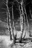 Abedules en invierno Fotografía de archivo