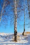 Abedules en invierno con el cielo azul Imagenes de archivo
