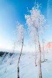 Abedules en la escarcha, mañana, amanecer escarchado en la tundra ártica Imagenes de archivo