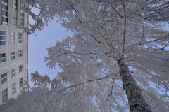Abedules en la helada Foto de archivo libre de regalías