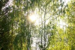 Abedules en la luz del sol Imagen de archivo