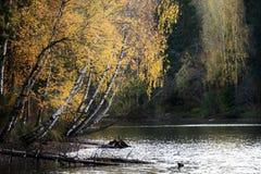 Abedules en la orilla del río Foto de archivo
