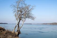 Abedules en la orilla del río Fotos de archivo libres de regalías