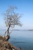 Abedules en la orilla del río Fotografía de archivo