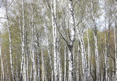Abedules en luz del sol en primavera Imagen de archivo libre de regalías