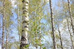 Abedules en luz del sol en primavera Fotos de archivo libres de regalías