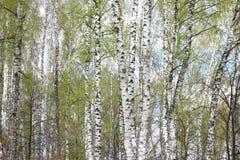 Abedules en luz del sol en primavera Imagenes de archivo