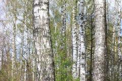 Abedules en luz del sol en primavera Fotos de archivo