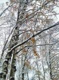 Abedules en nieve Imagen de archivo libre de regalías