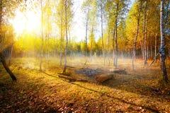 Abedules en otoño Imagen de archivo libre de regalías