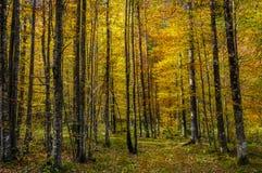 Abedules en otoño Foto de archivo