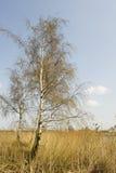 Abedules en paisaje Fotografía de archivo